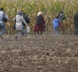 Darko Vojinovic (AP) fotóján migránsok furnak a rendőrök elől, hogy ideiglenes menedéket keressenek az alföldi kukoricásban.