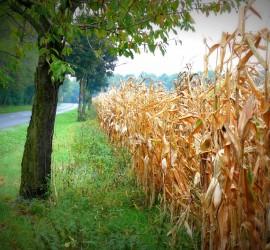 őszi kukorica