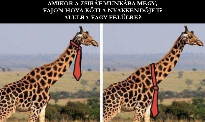 Hogyan viseli a zsiráf a nyakkendőjét?